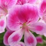 buy geranium oil