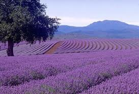 buy lavender oil
