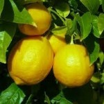 lemon essential oil for headache