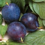 buy plum kernel oil
