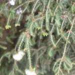 tea tree oil cures acne