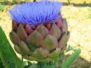 artichoke extract for liver detox