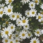 buy chamomile essential oil