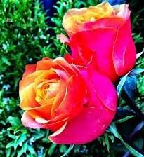 buy rose oil