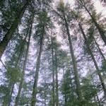 himalayan cedarwood